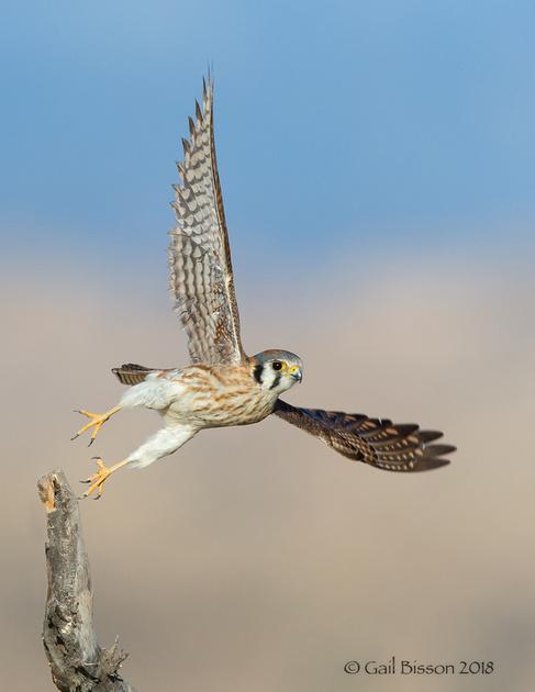 Kestrel Take-off #1